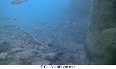 Underwater life of freshwater fish and eels - Many small...