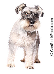 Adorable little dog - An adorable Miniature Schnauzer on a...