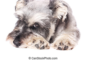 Adorable dog - An adorable Miniature Schnauzer on a white...