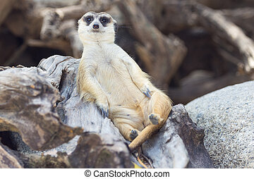 Meercat relax while guarding