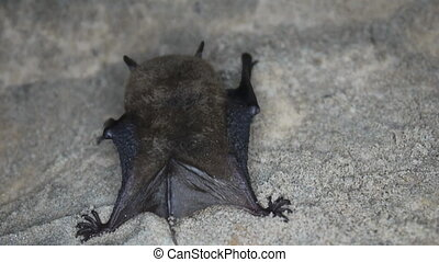 Bat closeup - Shooting sleeping in a cave bat, rear view