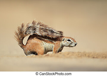 Ground squirrel - A ground squirrel Xerus inaurus, Kalahari...