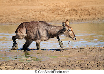 Waterbuck in mud - Waterbuck Kobus ellipsiprymnus in mud,...