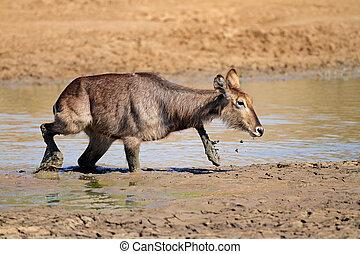 Waterbuck in mud - Waterbuck (Kobus ellipsiprymnus) in mud,...