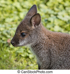 Cute Bennet Kangaroo on a meadow - Portrait of a cute Bennet...