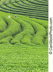 Worker harvesting green tea in the nature plant