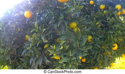 ripe delicious tangerine garden walk - smooth transaction of...