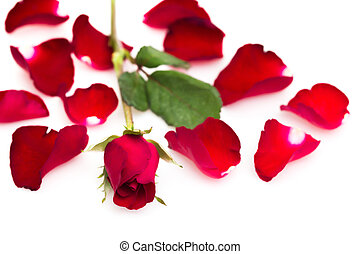 Rose - red rose isolated on white background