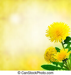 dandelions (taraxacum officinale) - Dandelions on defocused...