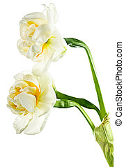 paperwhite daffodils - Beautiful narcissus, daffodil -easter...