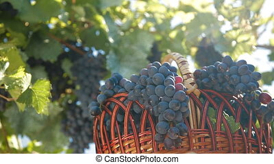 Fresh Harvest Dark Blue Grapes In Basket