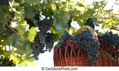 Fresh Dark Blue Grapes In Wicker Basket Against The Vine