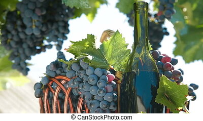 Fresh Grapes In Basket And Bottle Of Wine - Fresh Dark Blue...