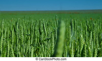 Green Wheat Field And Blue Sky, Dolly Shot