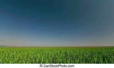 Summer landscape with green wheat and blue sky long shot