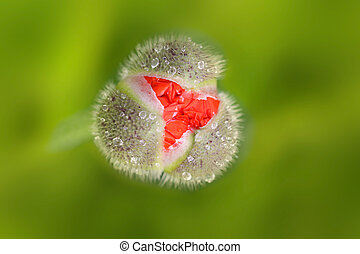 Spring Flower Bud - Tiny spring flower bud with small water...
