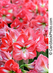 Many Pink Lily Flowers - Close up shot of many Pink Lily...