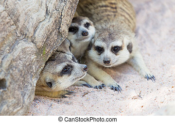 Meercat family under a tree