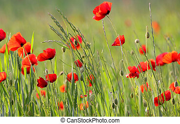 Poppy plantation - Beautiful poppy flowers blowing by wind...