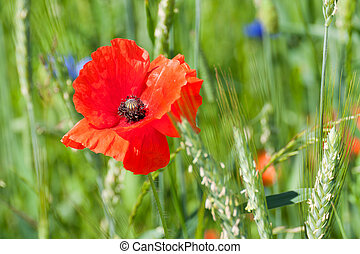 poppy flower - red poppy flower