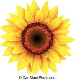 Sunflower, realistic vector illustration