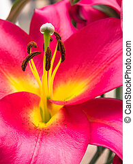Petals, stigma and anthers of a pink lily - Close-up of...