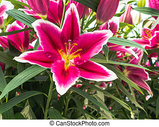 Pink lily with white edges - Close-up of petals, green...