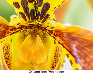 Yellow and reddish colored orchid - Close-up of bright...