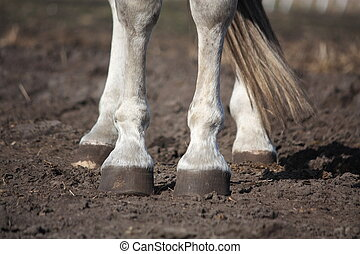 Close up of gray horse legs and hooves