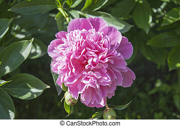 Georgeous peony in a full bloom. Green background.