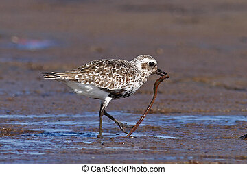 Black-bellied Plover at Plum Island, Newbury, MA