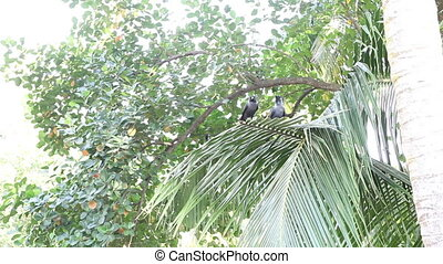 Crow sit on coconut palm