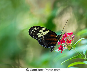 Tiger Longwing butterfly (Heliconius hecale) feeding on red...