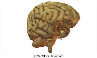 brain - Seamless loop of a computer rendered brain, isolated...