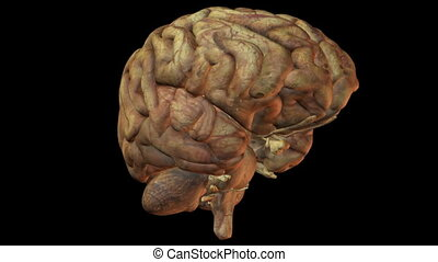human brain - Seamless loop of a human brain rendered on...