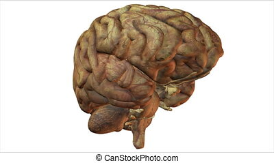 brain - Seamless loop of a computer rendered brain
