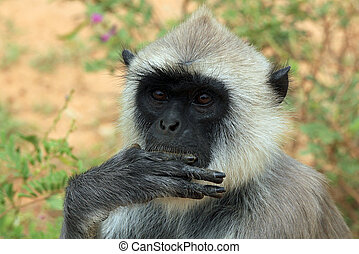 Gray Langur - Close-up of a Gray Langur (Semnopithecus...