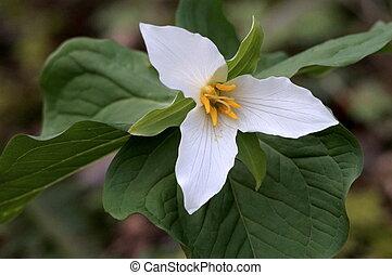Pacific Trillium - Trillium ovatum - A flowering Pacific...