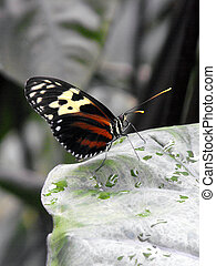 Tiger Longwing butterfly - Tiger Longwing Heliconius hecale...