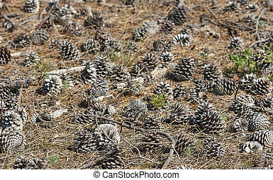 forest pine cones in natural surroundings, focus on...