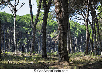 Tuscany forest landscape with pines, Italy