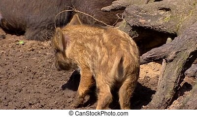 European wild boar piglet sus scrofa scrubbing against stump...