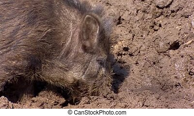 European wild boar (sus scrofa)  in mud - close up