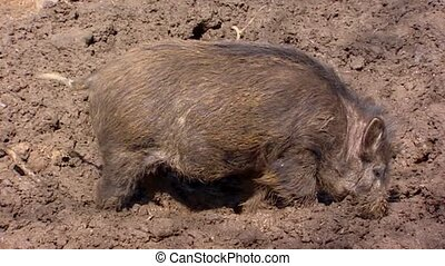 European wild boar (sus scrofa)  in mud