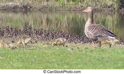 Greylag Goose anser anser in natural habitat with chicks...