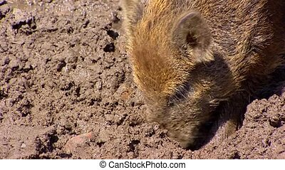 European wild boar piglet sus scrofa in mud Wild boar are...