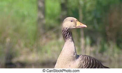 Greylag Goose (anser anser) posting - medium shot. The Anser...