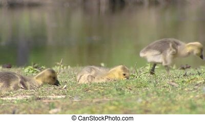 Greylag Goose anser anser chicks foraging in grassland The...