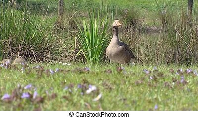 Greylag Goose (anser anser) in natural habitat with chicks...