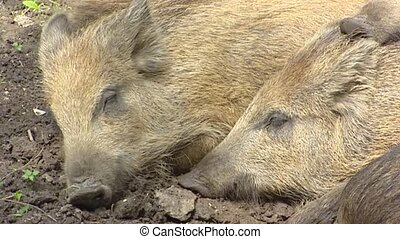 European wild boar (sus scrofa) sleep in mud. A pig in the...